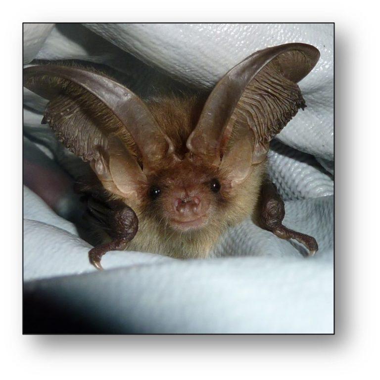 Bat Mitigation Class Licence